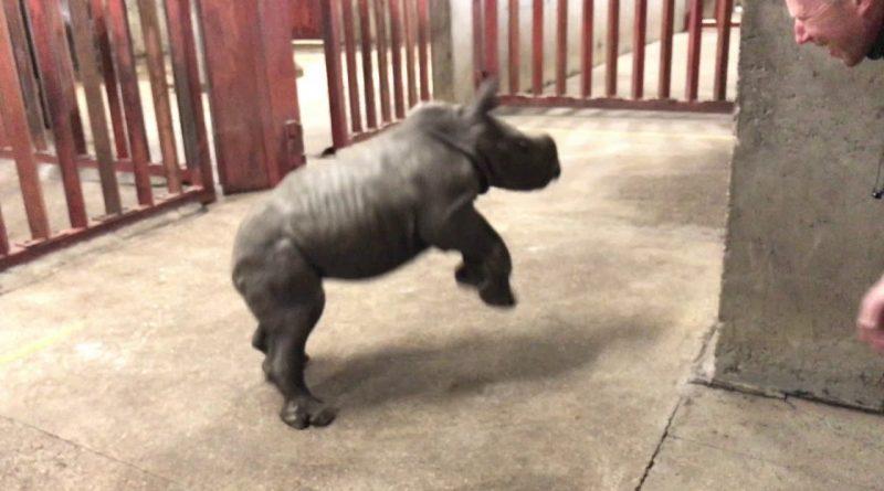 Adorable Rhino Calf Playing With Human Friend