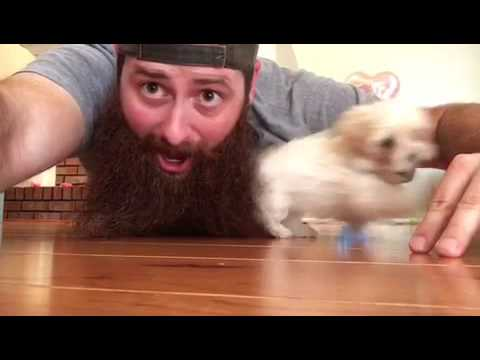 Adorable Puppy Hiding In Man's Beard