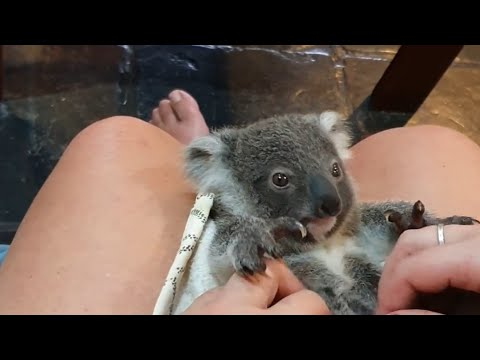 Baby Koala Loves Getting Belly Rubs