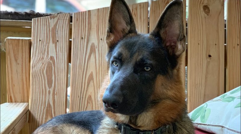 German Shepherd Opens The Door For His Cat Friend