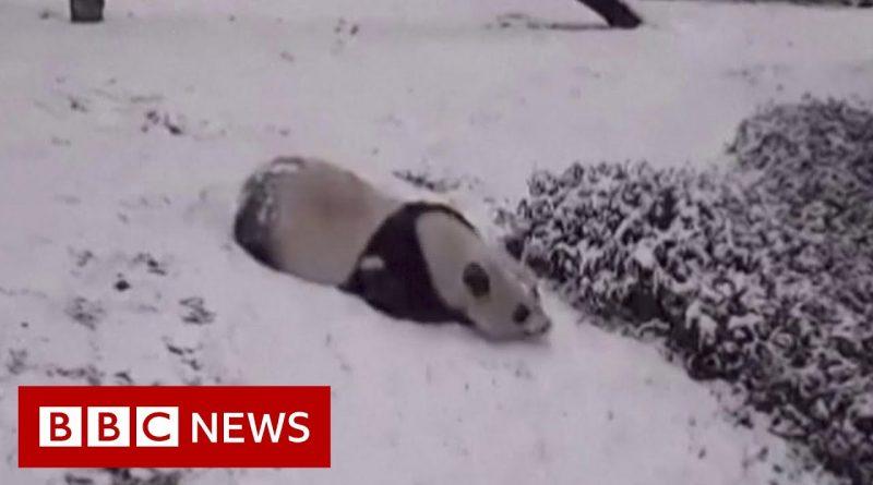 Pandas Enjoying The Snow 🐼 ❄