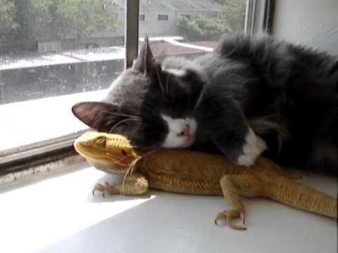Cat Loves Cuddling With His Bearded Dragon Best Friend 😍