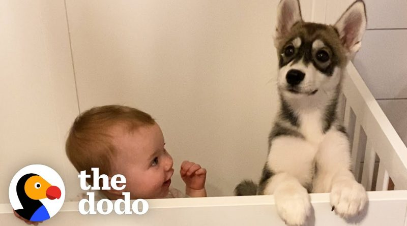 Baby Husky And Baby Human Grow Up Together As Best Friends 💕