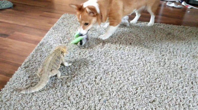 Corgi And Bearded Dragon Play Tug Of War