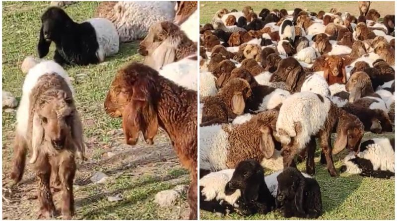 Cute Baby Lambs Enjoying Life 🐑