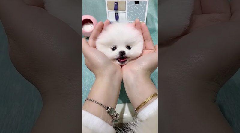 Fluffy Pomeranian Will Brighten Your Day!