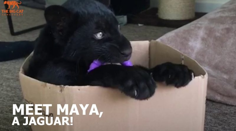 Meet Maya The Jaguar