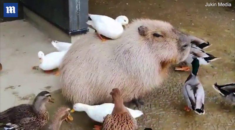 Capybara Enjoys His Duck Friends