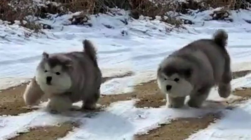 Bouncing Fluffy Puppies 🐶