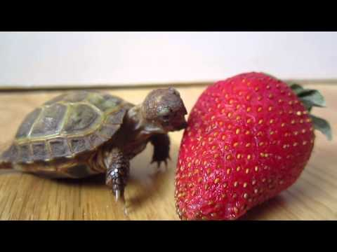 Russian Tortoise's First Time Trying To Eat A Strawberry 🍓