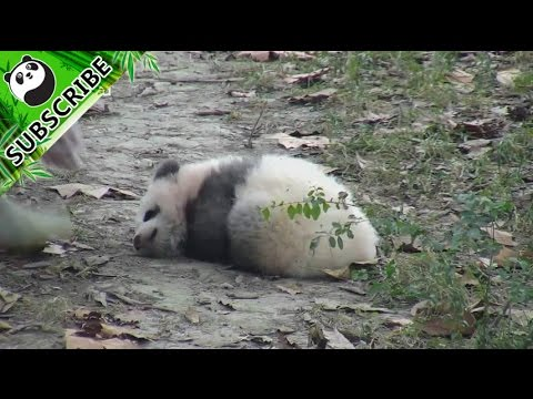 Baby Panda Does Not Want To Get Up