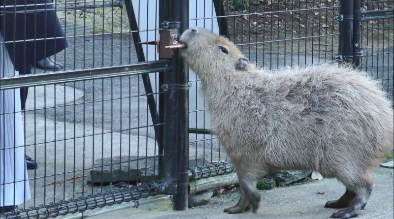 Capybara Opens Gate And Goes To Visit With Humans