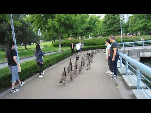 Canada Geese Have A Parade