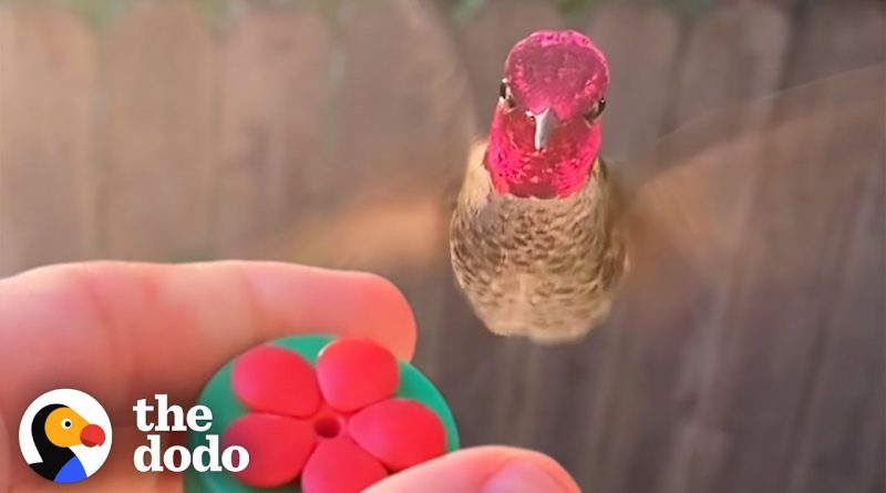Hector The Hummingbird Loves Being Hand Fed By His Human Best Friend