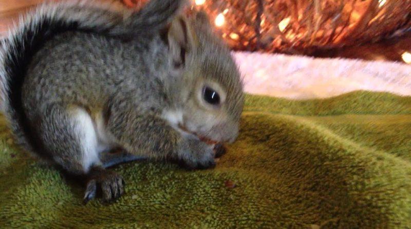 Jill The Squirrel Enjoying Her First Walnut