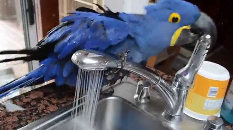 Miss Iris The Parrot Enjoys Her Personal Shower