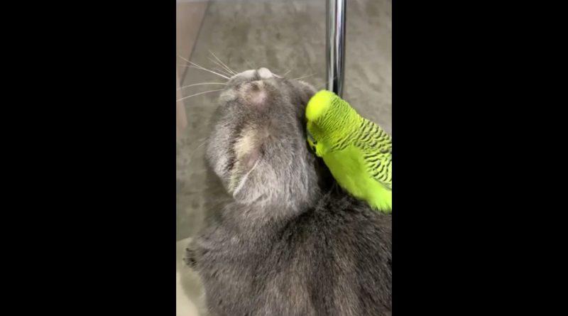 Parakeet Loves Grooming His Cat Friend