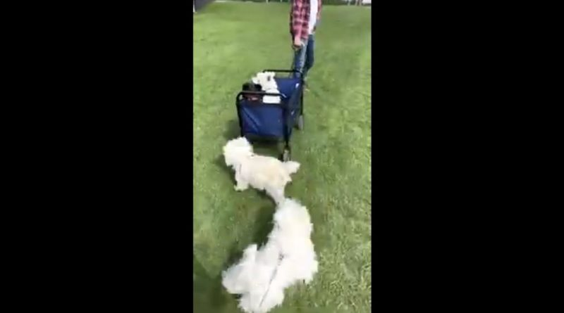 Dogs Get To Enjoy A Wagon Pull With Their Friends