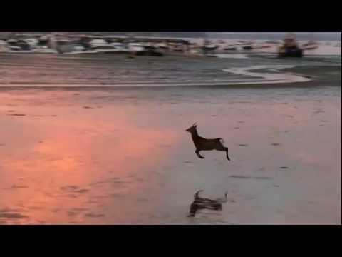 Deer Goes For A Morning Skip Across The Beach