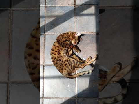 A Day In The Life Of A Bengal Cat