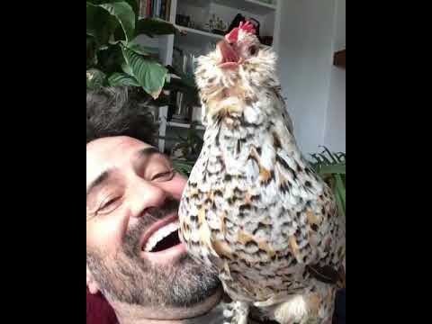 Chicken Laughs At A Chicken Joke 🐔