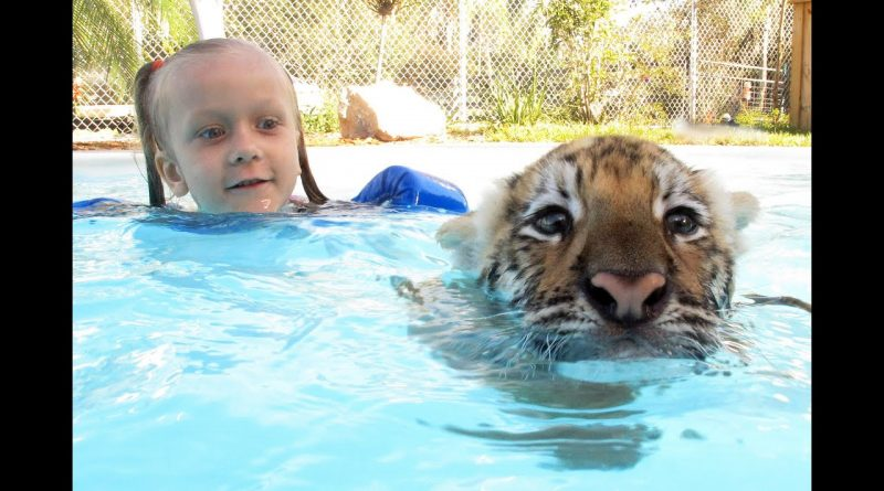 Tiger Cub Enjoys Swimming With His Human Friends