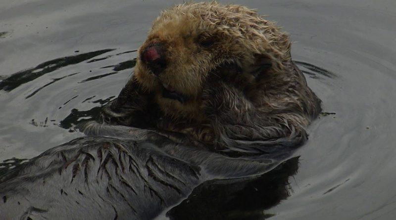 Sea Otter Gives Itself An Adorable Gace Massage
