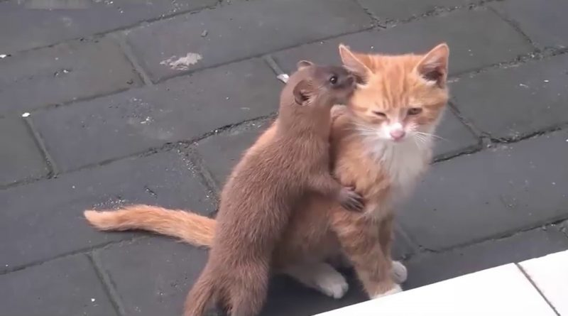 Adorable Kitten And Weasel Play Together!