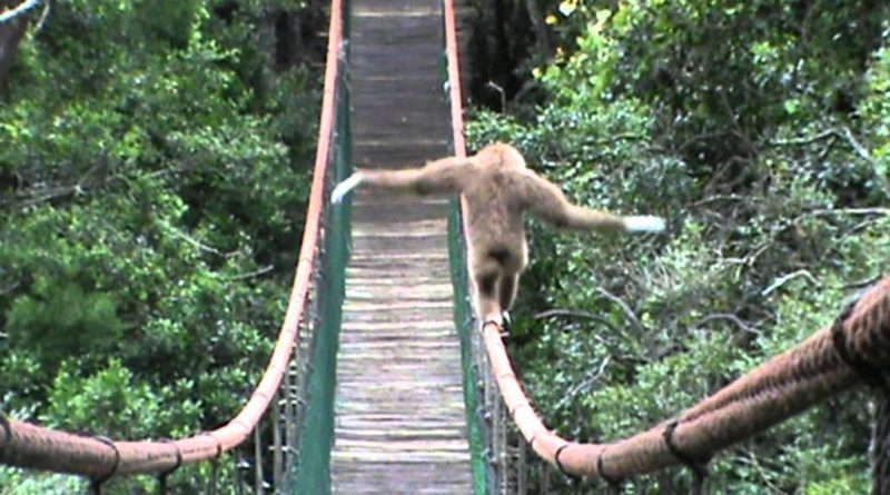 Gibbon Tries Tight Rope Skills Out