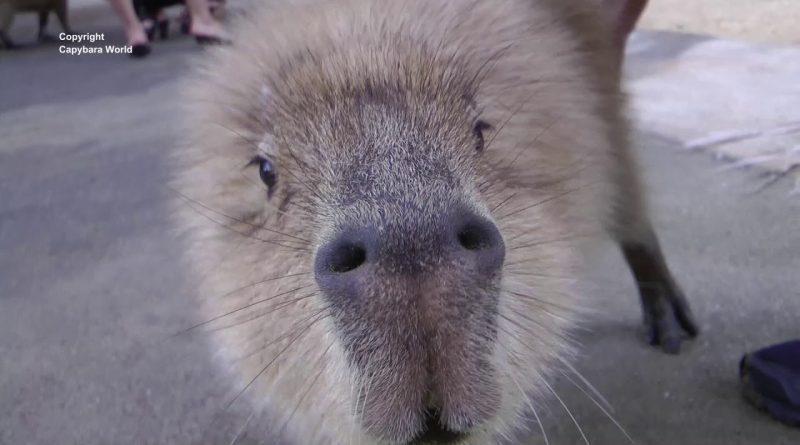 Syu The Capybara Sings!