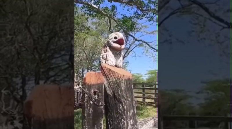Potoo Bird Has An Unique Song