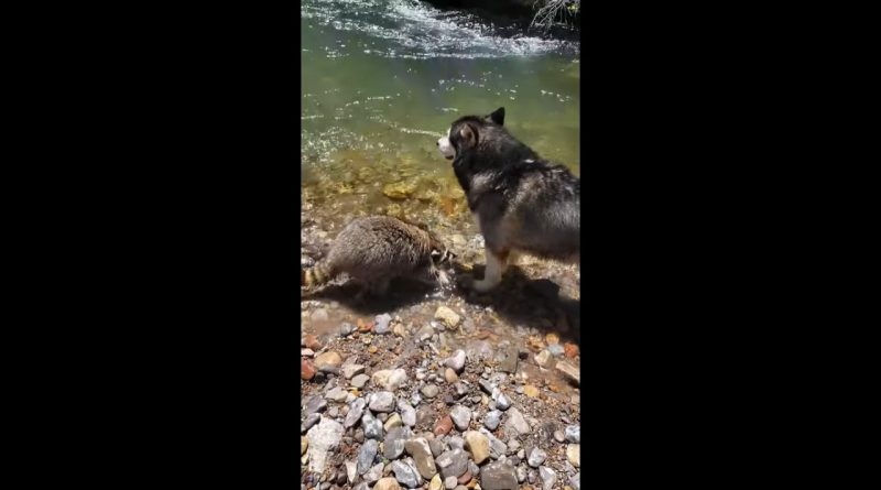 Friendly Raccoon Makes Friends With A Husky