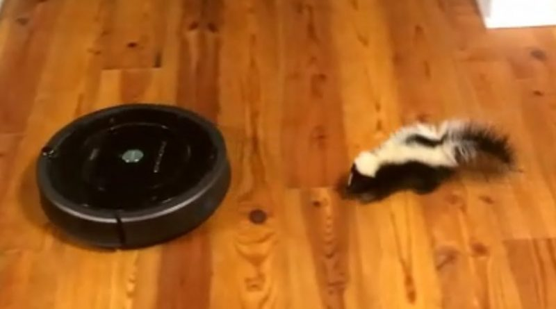Baby Skunk Loves Playing With Robot Vacuum