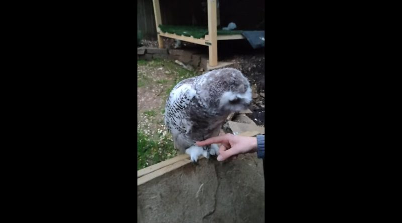 Owl Gently Takes Human's Finger Off Its Foot