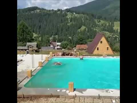 Cow Decides To Go For A Swim In The Pool With Her Human Friends 🐄