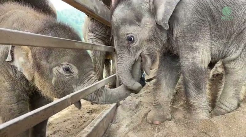 Baby Elephant Greets New Baby Elephant Friend 🐘 🐘 ❤