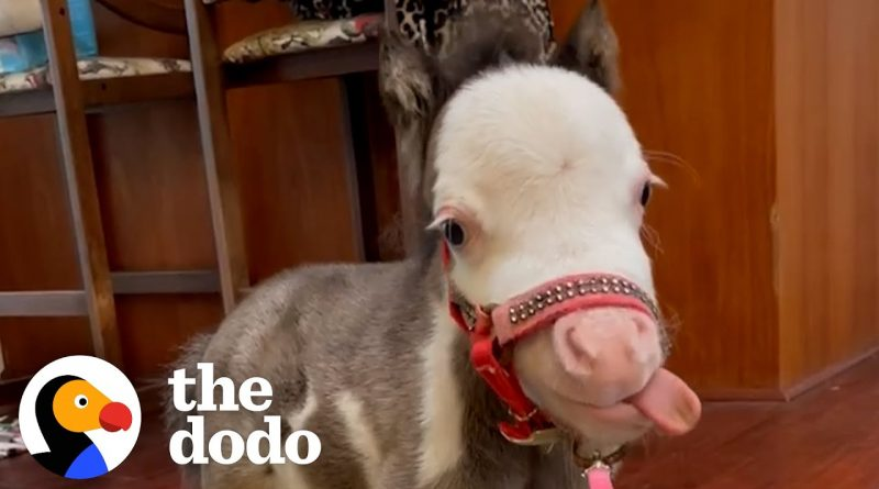 The Smallest Horse In The World Is Loving His Life 🐎 ❤