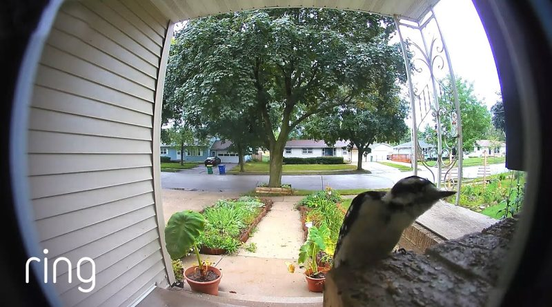 Woodpecker Has An Unique Way To Ring The Doorbell