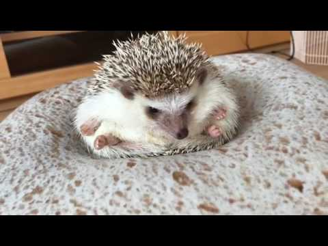 Hedgehog Stretching On Bread Pillow