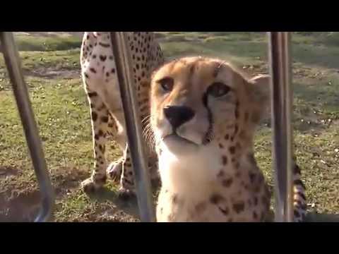Cheetahs Meowing Like House Cats