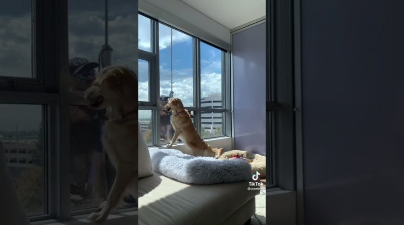 Golden Retriever Tries To Give Window Washer Their Toy Through The Window